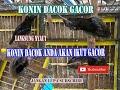 Suara Konin Dada Coklat  Mp3 - Mp4 Download