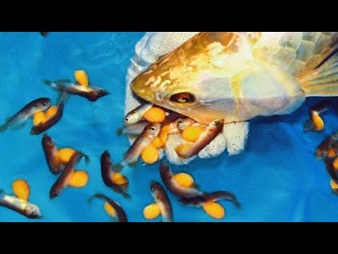 Amazing Arowana Fish Breeding From Eggs To Fish | Complete Arowana Fish Life Cycle Video