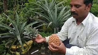 Pineapple ki kheti or usse lakho rupees kese kamaye {💐💐or city me bhi isse kese lagaye..}..}