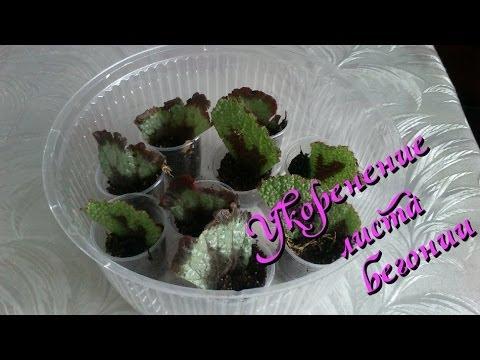 Декоративно-лиственная бегония размножение листом и его фрагментом