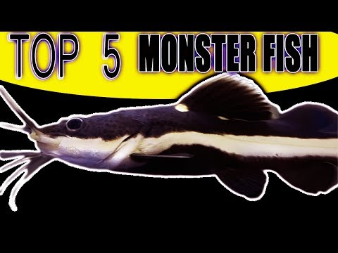 TOP 5 Small Fish That Grow Into Monsters