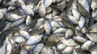 Tilapia Farming in Vietnam