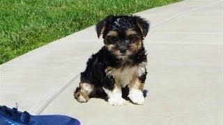 ''gucci'' - Tiny Female Morkie Puppy In San Diego - Maltese X Yorkie