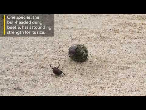 Эпичная схватка двух навозных жуков