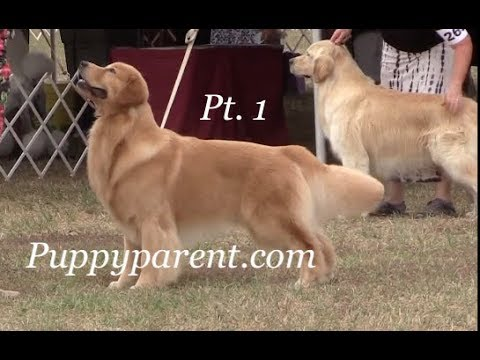 Golden Retriever Show Barrie Kennel and Obedience Club part 1 of 2