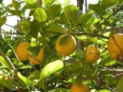 Lemon Tree - Tips for Better Production | Lemon Plant in Pot | Kitchen Gardening