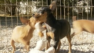 Miniature Pinscher Puppies Play With Stuffed Animals!