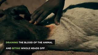 Creatures Explained  Dog Headed Pig Monster of Namibia   Expedition Mungo   Animal Planet