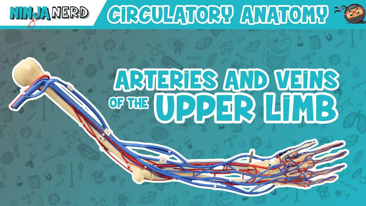 medium resolution of circulatory system arteries veins of the upper limb vascular arm model