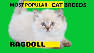 Ragdoll Cat Most Popular Cat Breed
