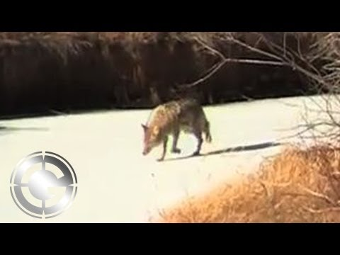 Going to Work on Montana Coyotes – Long Range Hunting