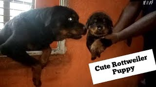    Cute rottweiler puppy    pom tv    dog video in kolkata india  