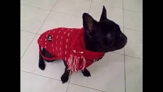 This Video Previously Contained A Copyrighted Audio Track. Due To A Claim By A Copyright Holder, The Audio Track Has Been Muted.     Texas The French Bulldog In Italy!
