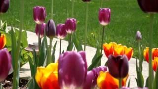 100 Tulips in my garden(3)@MA