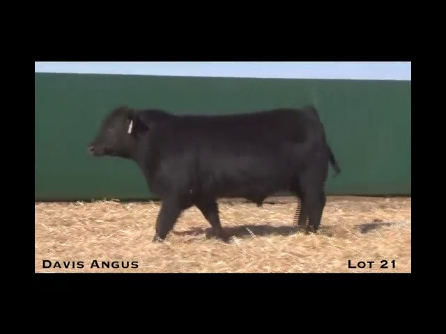 Davis Angus Lot 21