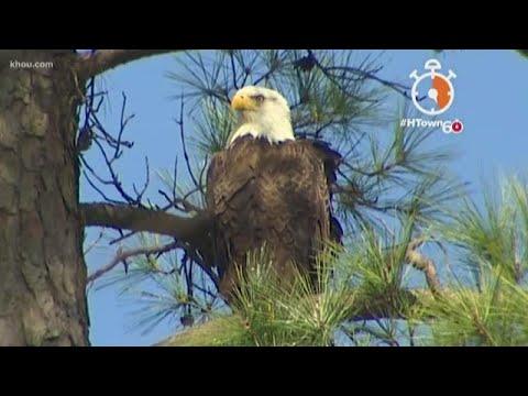 HTown60: Nesting Bald Eagles Make Home In North Houston