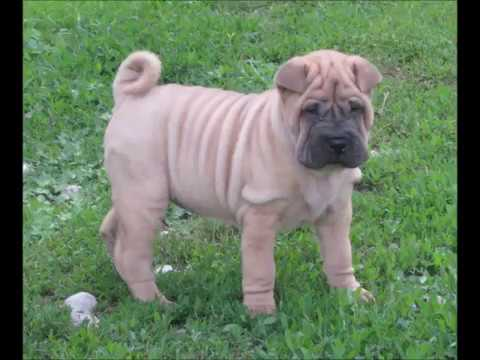 T'ayBet Bell Shar-Pei Presents...