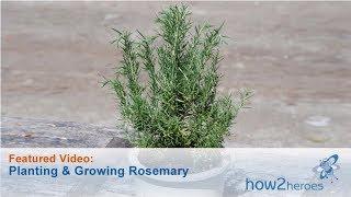 Baixar Planting & Growing Rosemary