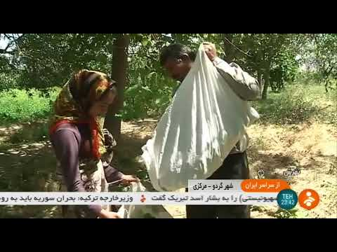 Iran Organic Walnut harvest, Tafresh county برداشت گردو شهرستان تفرش ايران