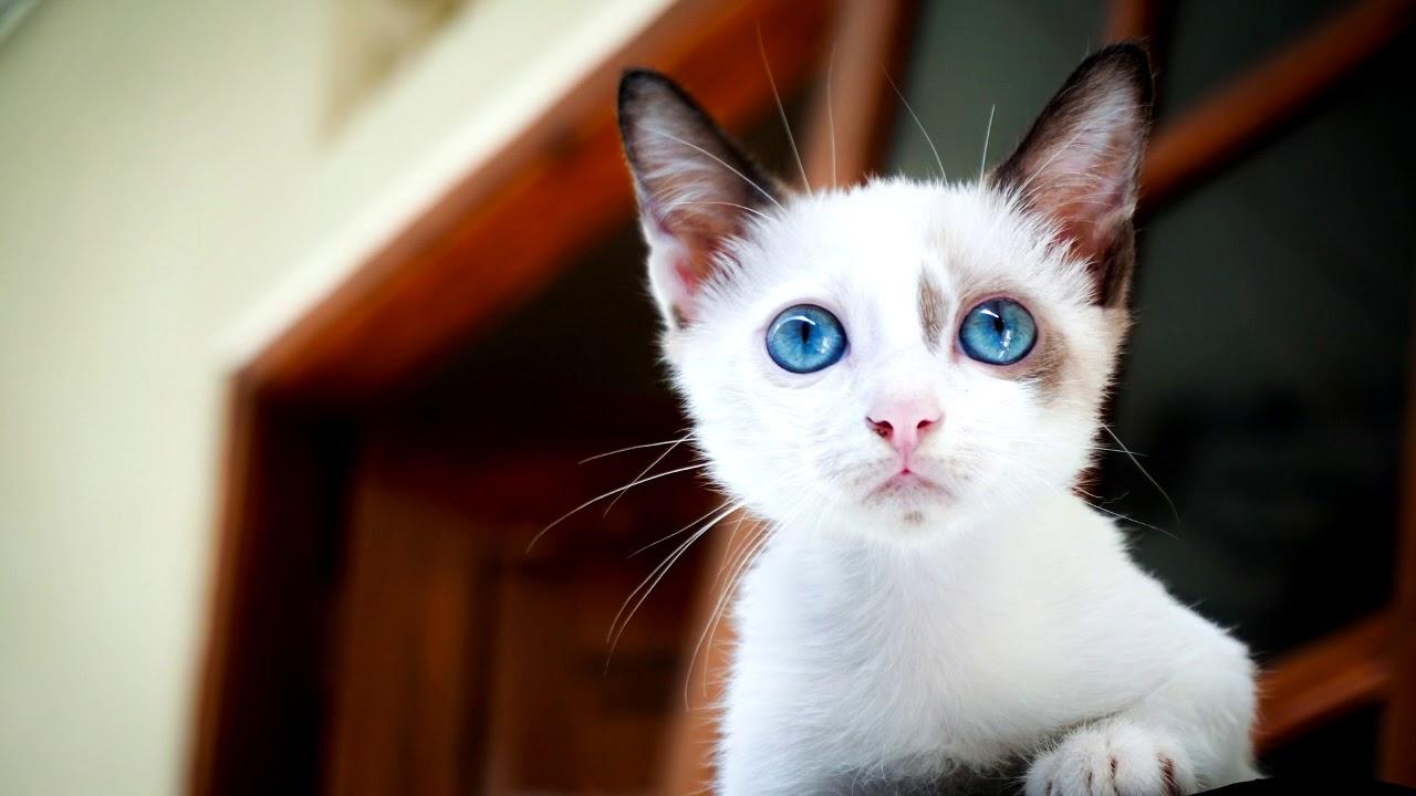 เสียงแมวร้องใช้แกล้งแมว ได้ผลแน่นอน