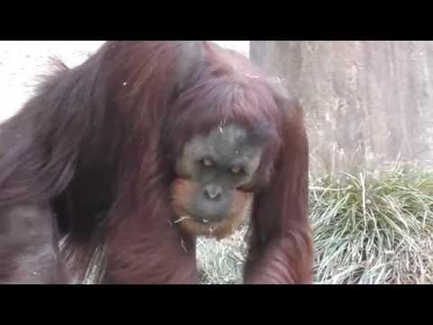 Sumatran Orangutan Monkey Eating The Ground Sacramento Zoo