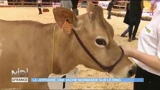La Jersiaise, une vache normande sur le ring
