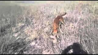 Охота на барсука с тазы