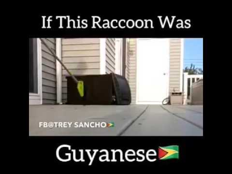 If raccoon was Guyanese