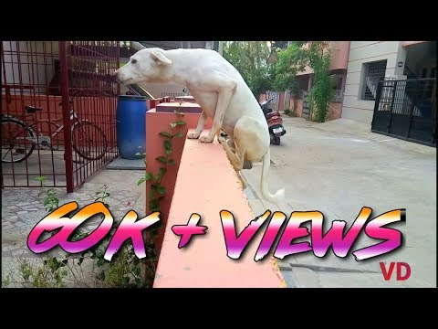 Rajapalayam dog Awesome Jump.