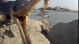 Баклан выясняет отношения с чайкой , за рыбку