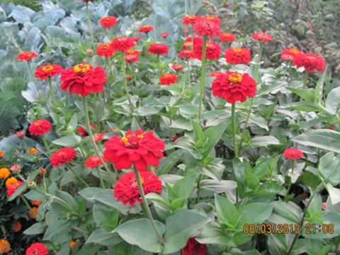 Цинія квіти фото