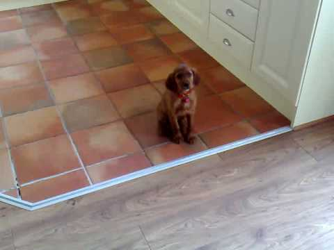 Irish Red Setter Puppy (Ruby) 9 Weeks.