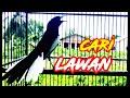 Kacer Gacor Cari Lawan Memancing Lawan Naik Darah Hobi Kita  Mp3 - Mp4 Download