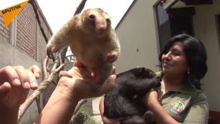 This is Fredie the pygmy anteater who is 11 years old. He lives in ...