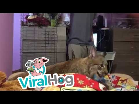 Big Cat Playtime