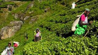 Sri Lanka - Hindi woman working at Tea Plantation (Lipton)
