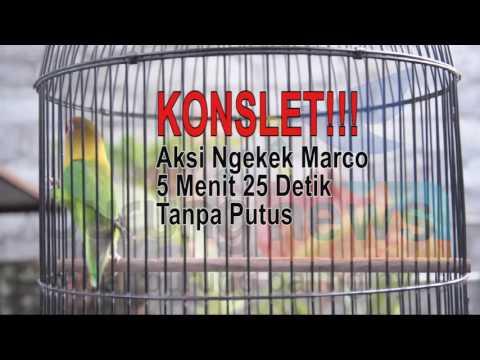 KONSLET!!! Aksi Ngekek Love Bird Marco 5 Menit 25 Detik Tanpa Putus
