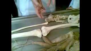 Соединение костей нижней конечностей.
