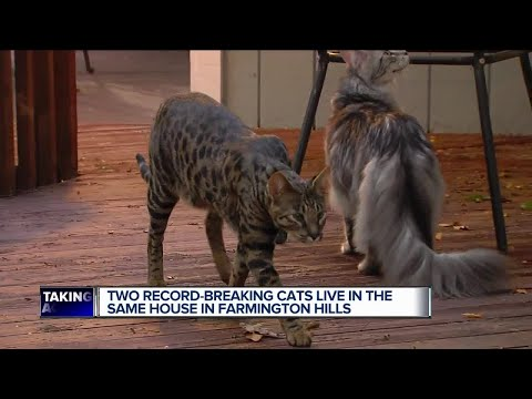 Metro Detroit man owns two record-breaking cats