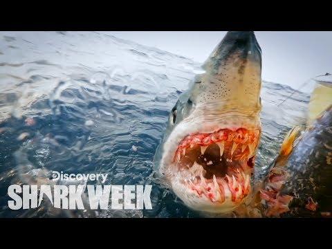Up Close With a Grander Mako Shark   Shark Week