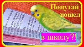 Попугай пошел в школу?!//Смешной волнистый попугай//Приколы с попугаем