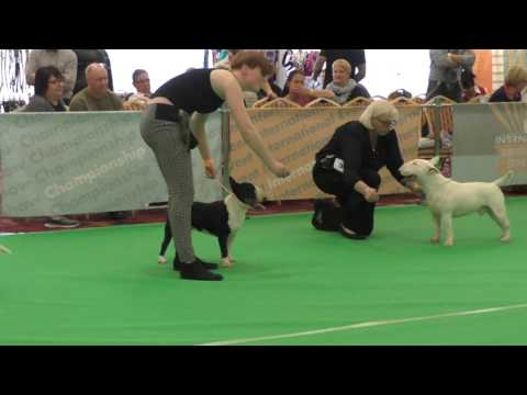 Miniature Bull Terrier Club England International Weekend 2016 Dog Challenge