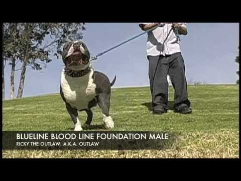 BLUELINE BLOOD LINE FOUNDATION STUD R.I.P. OUTLAW THE PITBULL