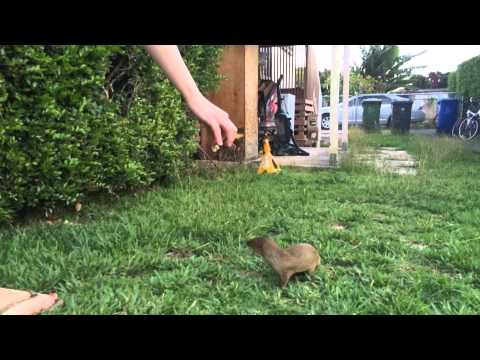 Pet Mongoose