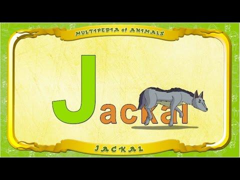 Multipedia of Animals. Letter J - Jackal