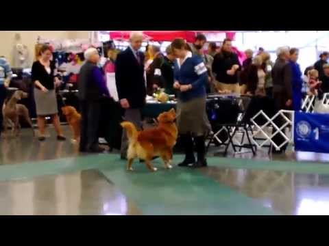 Whidbey Island Kennel Club Dog Show (Tollers), 16 November 2013 (HD)