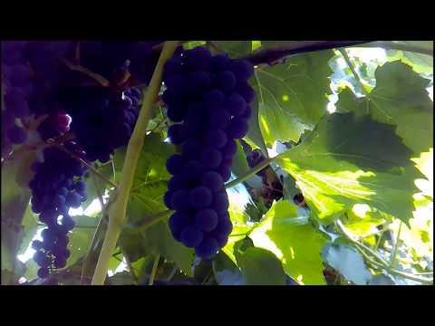 Виноград на Южном Урале. Слава Богу за урожай.