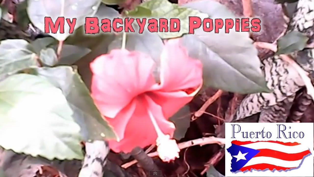 Puerto Rican Hibiscus Is The Puerto Rico State Flower Youtube