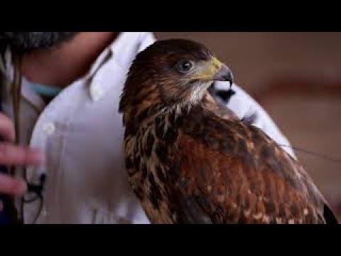 Falconry Based Bird Abatement