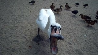 Killer Swan II